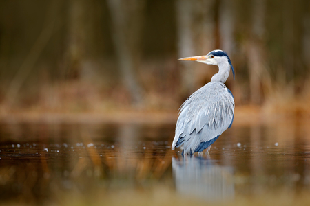 Lake in the forest with bird. Bird the water. Grey Heron, Ardea cinerea, bird sitting, green marsh grass, forest in the background, animal in the nature habitat, Sweden. Wildlife scene from nature.