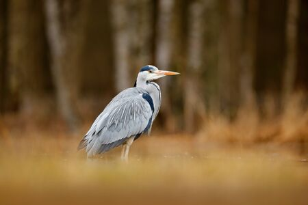 Bird in the forest lake. Heron in the water. Grey Heron, Ardea cinerea, bird sitting, green marsh grass, forest in the background, animal in the nature habitat, Germany. Lake in the forest with bird.
