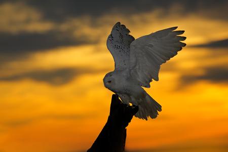 Beautiful sunset sky with flying owl. Snowy owl, Nyctea scandiaca, rare bird sitting on the tree trunk. Orange sky with evening owl. Early morning scene, before sunrise, Finland. Nice orange clouds.
