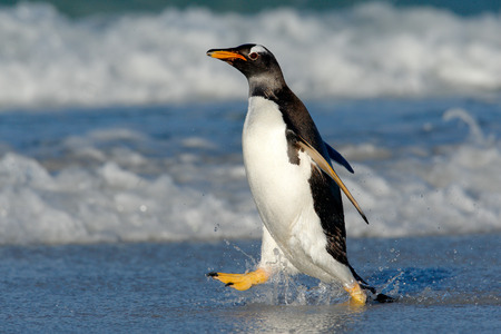 Running on the beach. Penguin in the ocean water. Gentoo penguin jumps out of the blue water while swimming through the ocean in Falkland Island. Wildlife scene from nature.
