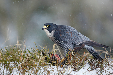 Peregrine Falcon, bird of prey sitting in grass during winter with snow, Germany. Falcon witch catch dove. Wildlife scene from snowy nature. Cold winter with bird. Falcon eating bird with plumage.