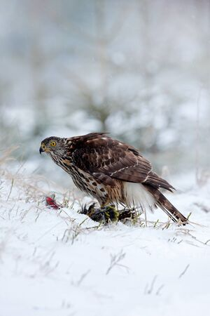 Wildlife scene from Sweden nature. Bird of prey Goshawk kill bird and sitting on the snow meadow with open wings, blurred snowy forest in background.