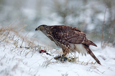 Bird of prey Goshawk kill bird and sitting on the snow meadow with open wings, blurred snowy forest in background. Wildlife scene from Germany nature.