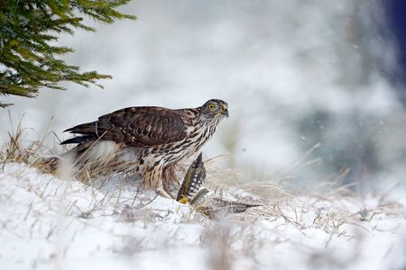 Winter forest with Goshawk. Wildlife scene from Germany nature. Bird of prey Goshawk kill bird and sitting on the snow meadow with open wings, blurred snowy forest in background. Foto de archivo