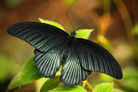 Dark exotic butterfly. Butterfly in the forest. Butterfly sitting on the leaves. Beautiful black butterfly, Great Mormon, resting on the green branch, insect in the nature habitat, India.
