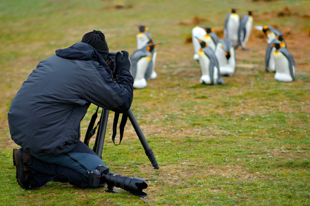 Photographer in king penguin colony. Group of King penguins, animals in the nature habitat, dark blue sky, Falkland Islands. Man with birds. Travelling in South America. Holiday in Falkland Islands. Stock Photo