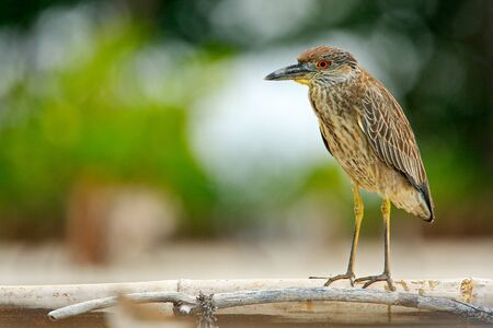 Heron sitting on the river cost. Heron sitting on the stone. Night heron, Nycticorax nycticorax, grey water bird sitting in the stone coast. Morning in blue water surface. Sea bird.  Stock Photo