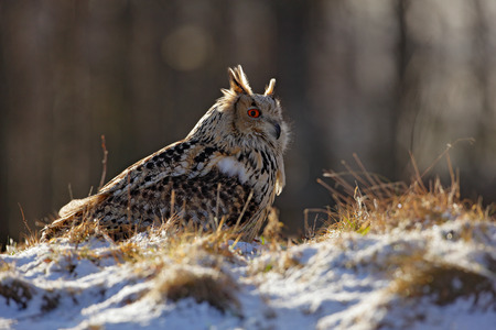 Cold winter with rare bird. Big bird in snow. Eastern Siberian Eagle Owl, Bubo bubo sibiricus, sitting on hillock with snow in the forest. Birch tree with beautiful animal. Bird from Russia winter.  Stock Photo