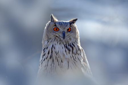 Wintergesichtsporträt der Eule. Ostsibirier Eagle Owl, Bubo Bubo Sibiricus, sitzend auf Hügel mit Schnee im Wald. Birkenbaum mit schönem Tier. Vogel aus Russland Winter. Kalter Winter, Vogel.