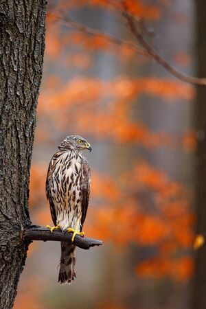 Bird in fall forest. Goshawk, Accipiter gentilis, bird of prey sitting oh the branch in autumn forest in background. Stock Photo