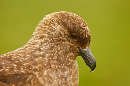 Bird from Norway. Brown skua, Catharacta antarctica, water bird sitting in the autumn grass, evening light. Detail portrait of sea bird. Close-up head of sea bird. Stock Photo