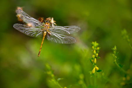 Beautiful nature scene with butterfly Common Darter, Sympetrum striolatum. Macro picture of dragonfly on the leave. Dragonfly in the nature. Dragonfly in the nature habitat. Stock Photo