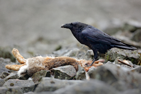 Raven with dead red fox, sitting on the stone. Bird behaviour in nature. Rocky habitat with black raven. Bloody meal in the bill. Wildlife feeding scene in forest. Black bird, rocky habitat.