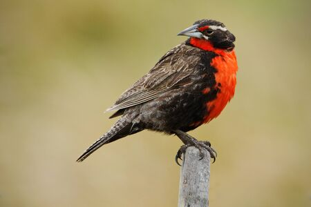 Red songbird. Long-tailed Meadowlark, Sturnella loyca falklandica, Saunders Island, Falkland Islands. Red and brown song bird sitting on the branch. Red songbird with clear background.