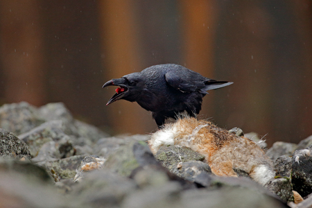 Black bird raven with dead red fox, sitting on the stone. Bird behaviour in nature. Rocky habitat with black raven. Bloody meal in the bill. Wildlife feeding scene in forest. Stock Photo