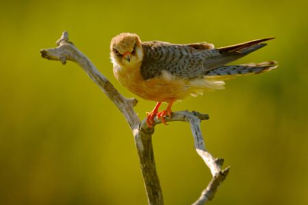 Red-footed Falcon, Falco vespertinus, bird sitting on branch with clear green background, cleaning plumage, feather in the bill, animal in the nature habitat, Hungary. Stock Photo