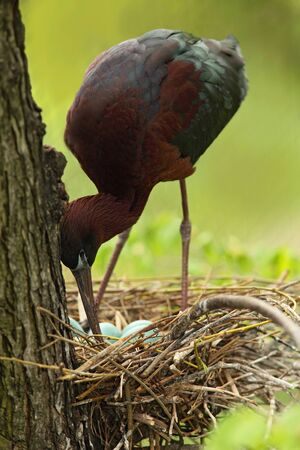 Bird in the nest. Nesting time. Brown bird in the nest. Nest with eggs. Glossy Ibis, Plegadis falcinellus, in the nest. Ibis in the nature habitat. Bird sitting in the nest. Brown ibis with eggs. Reklamní fotografie
