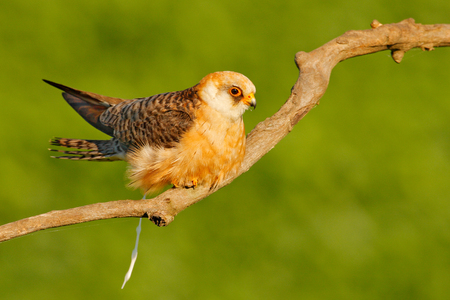Red-footed Falcon, Falco vespertinus, bird sitting on branch with clear green background, cleaning plumage, feather in the bill, animal in the nature habitat, Hungary. Bird shit crap, have a shit. Stock Photo