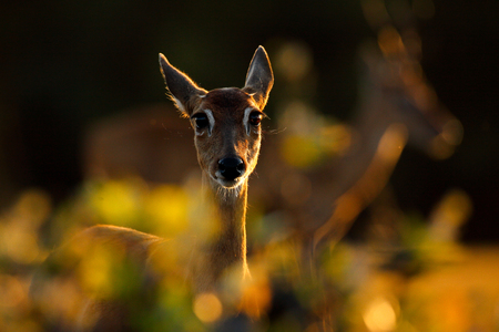 Evening back-light portrait deer. Pampas Deer, Ozotoceros bezoarticus, sitting in the green grass, Pantanal, Brazil. Wildlife scene from nature. Deer, nature habitat. Wildlife Brazil. Sunset in forest. Banco de Imagens