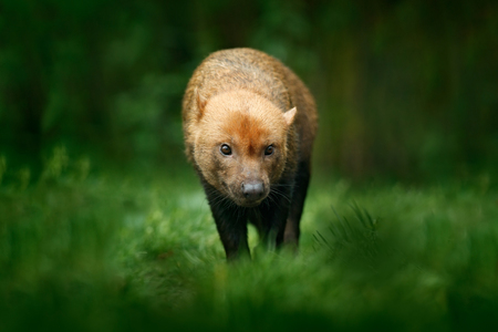 Brown wild Bush Dog, Speothos venaticus, from Peru tropical forest. Wildlife scene from nature. Animal in the forest habitat. Rare wild dog in the grass. Rare animal in nature.