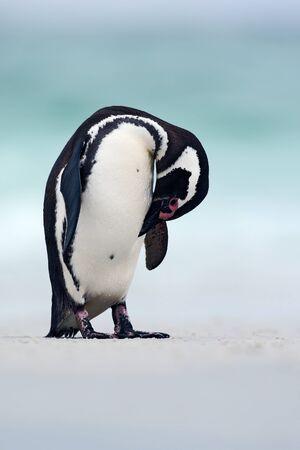 Magellanic penguin, Spheniscus magellanicus, on the white sand beach, ocean wave in the background, Falkland Islands. Penguin in Antarctica.