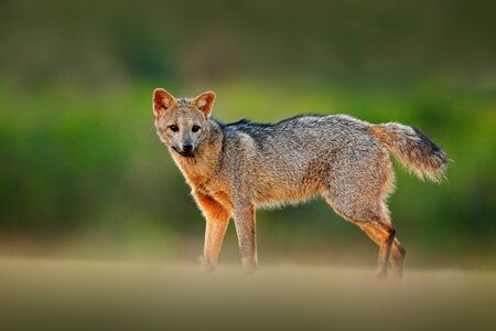 Crab-eating fox, Cerdocyon thous, forest fox, wood fox or Maikong. Wild dog in nature habitat. Face evening portrait. Wildlige, Pantanal, Brazil. Green vegetation, cute wild fox. Travelling Brazil.