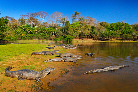 Caiman, Yacare Caiman, crocodiles in river surface, evening with blue sky, animals in the nature habitat. Pantanal, Brazil. Caimans, water landscape with trees. Wildlife scene from Brazil nature. Stock Photo