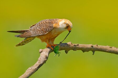 Falcon with catch locust grasshopper. Red-footed Falcon, Falco vespertinus, bird sitting on branch with clear green background, insect in the bill, animal behaviour in the nature habitat, Hungary.