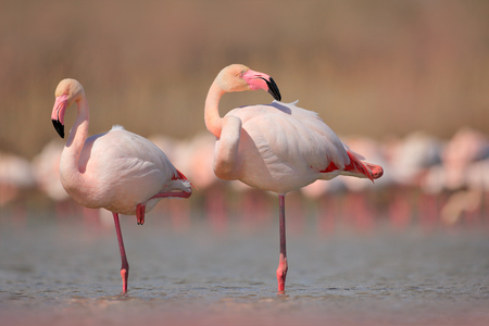 Pink big bird Greater Flamingo, Phoenicopterus ruber, in the water, Camargue, France. Flamingo cleaning plumage. Wildlife animal scene from nature. Wildlife nature travel in France. Banco de Imagens
