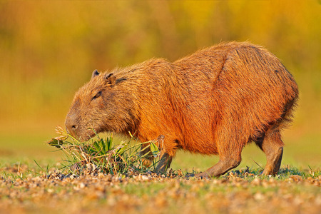 Capybara, Hydrochoerus hydrochaeris, Biggest mouse in water with evening light during sunset, Pantanal, Brazil. Wildlife scene from nature. Wildlife Brazil.  Mammal, open muzzle with white tooth.  Reklamní fotografie