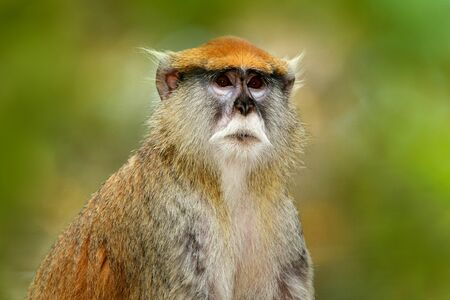 Green wildlife of Senegal. Patas Hussar monkey, Erythrocebus patas, sitting on tree branch in dark tropic forest. Animal in nature habitat, in forest. Detail portrait of monkey from central Africa. Stock Photo