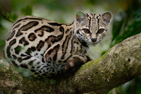Wild cat from Costa Rica. Margay, Leopardis wiedii, beautiful cat sitting on the branch in the tropical forest, Central America. Wildlife scene from tropic nature. Travelling in Costa Rica. Stock Photo