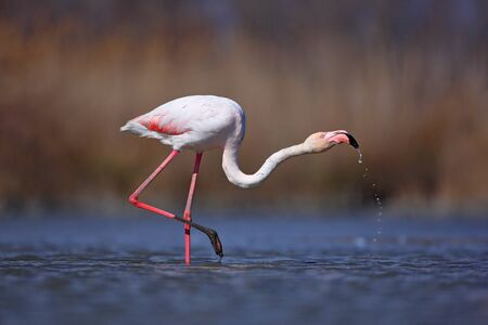 Greater Flamingo, Phoenicopterus ruber, nice pink big bird, head in the water, animal in the nature habitat, Camargue, France. Wildlife scene from wild nature. Bird drinking water. Spring in Europe. Stock Photo