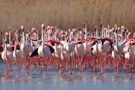 Rebanho do maior flamingo, ruber de Phoenicopterus, pássaro grande cor-de-rosa agradável, dançando na água, animal no habitat da natureza, Camargue, França. Cena da vida selvagem da natureza. Bando de flamingos, primavera.