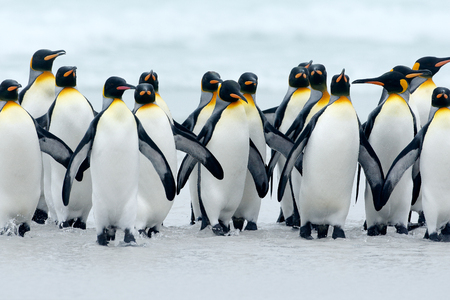 Animal from Antarctica. Group of king penguins coming back together from sea to beach with wave a blue sky, Volunteer Point, Falkland Islands. Wildlife scene from nature. cold winter with penguins.  Stockfoto
