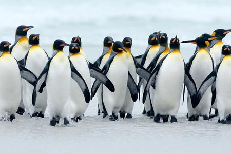 Dier uit Antarctica. Groep koningspinguïnen die samen van overzees naar strand terugkomen met golf een blauwe hemel, Vrijwilligerspunt, Falkland Islands. Wildlife scène uit de natuur. koude winter met pinguïns. Stockfoto