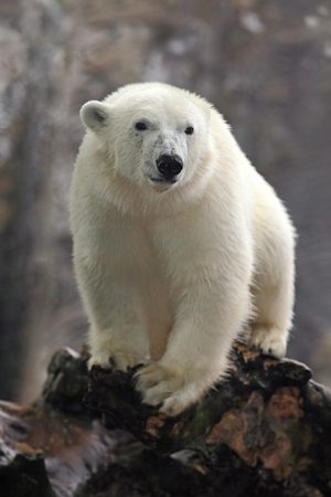 Portrait of white big animal polar bear with second blurred bear in bacgroun and snow flakes. Banque d'images