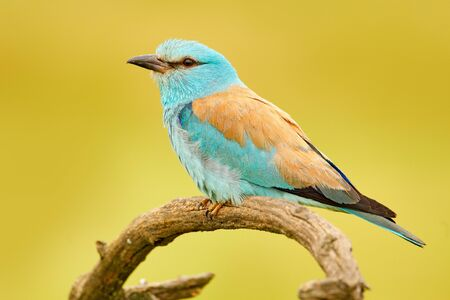 Roller in nature. Birdwatching in Hungary. Nice colour light blue bird European Roller sitting on the branch with open bill, blurred yellow background. Wildlife scene from Europe nature. Stock Photo