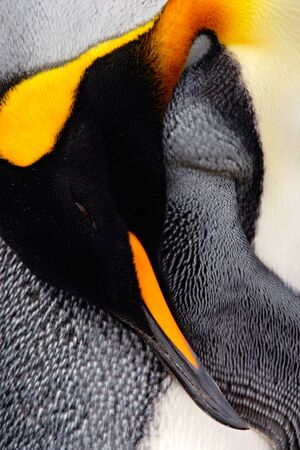 King penguin, Aptenodytes patagonicus. Penguin detail cleaning of feathers detail portrait of sea bird. Penguin with black and yellow head. Beautiful penguin in Falkland Islands. Portrait of penguin. Stock Photo