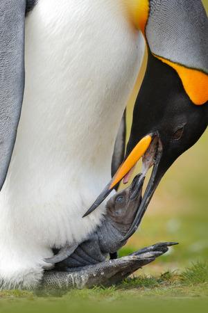 Young king penguin beging food beside adult king penguin, Falkland.
