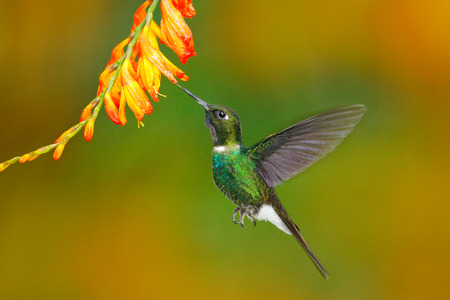 Bird with orange flower. Flying hummingbird. Action scene with hummingbird. Tourmaline Sunangel eating nectar from beautiful yellow flower in Ecuador. Hummingbird in fly.   Wildlife scene from nature.