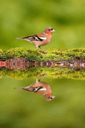 Chaffinch, Fringilla coelebs, orange songbird sitting on the nice lichen tree branch, little bird in nature forest habitat, mirror reflection in green water pond. Wildlife scene from nature.