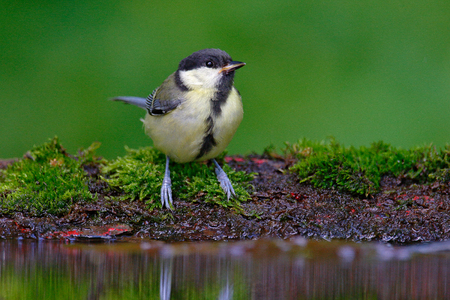 Great Tit, Parus major, black and yellow songbird sitting in the water, nice lichen tree branch, bird in the nature habitat, spring - nesting time, Germany. Wildlife scene from forest lake.