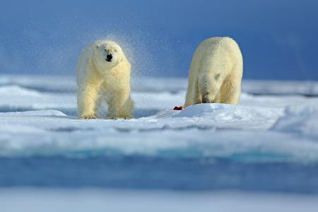 Deux ours polaires sur la glace en dérive dans la Russie arctique. Les ours polaires dans l'habitat naturel. Ours polaire avec de la neige. Ours polaire avec éclaboussures Scène d'action avec deux ours polaires. Ours polaire avec phoque sanglant. Banque d'images - 93791975