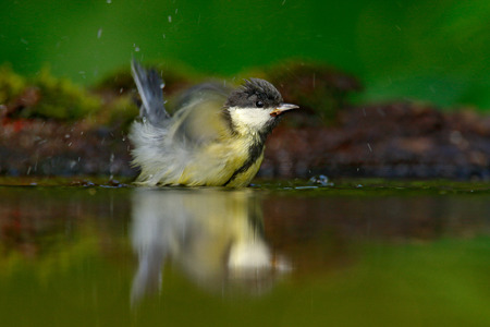 Bird wash plumage in water Great Tit, Parus major, black and yellow songbird sitting in the water, nice lichen tree branch, bird in the nature habitat, spring - nesting time, Germany. Hot summer day.