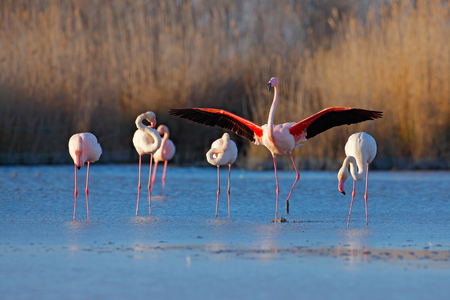 Flock of  Greater Flamingo, Phoenicopterus ruber, nice pink big bird, dancing in the water, animal in the nature habitat. Blue sky and clouds, Italy, Europe. Landscape with flamingos.  Foto de archivo