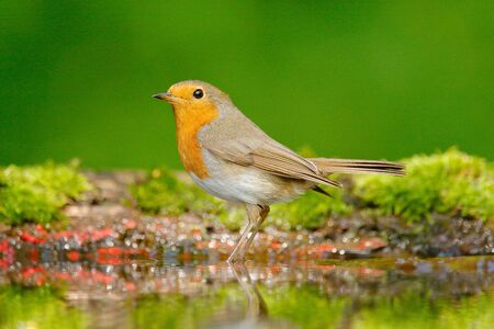 European Robin, Erithacus rubecula, sitting in the water, nice lichen tree branch, bird in the nature habitat, spring, nesting time, Germany. Orange songbird with mirror reflection in water surface.