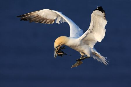 Flying bird. Flying Northern gannet with nesting material in the bill Bird in fly with dark blue sea water in the background, Flying bird from Helgoland island. Beautiful flying sea bird from coast.