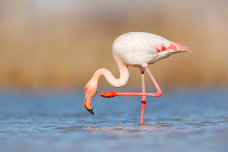 Flamingo cleaning plumage. Wildlife animal scene from nature. Flamingo in nature habitat. Beautiful water bird. Pink big bird Greater Flamingo, Phoenicopterus ruber, in the water, Camargue, France.