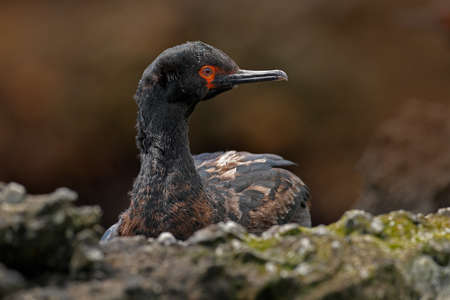 Shag in nest. Rock Shag, Phalacrocorax magellanicus, black and white cormorant with red bill siting on the stone, Falkland Islands. Wildlife scene from nature.  Stock Photo